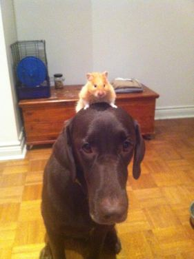 Dog with hamster on his head